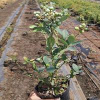 绿油油的红颜草莓苗产量高口感好挂果早