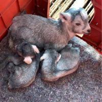 #农村生活农村事#视频中是咱们的套羊,一只大母羊带两个小羊羔或三个小羊羔