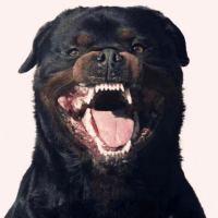 #黑狼犬#中国巨兽黑狼犬