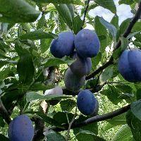 西梅蓝蜜树苗挂果状,西梅苗优质品种