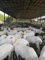 圈养养殖湖羊产羔多上膘快