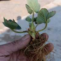 红丰杏树苗育苗基地