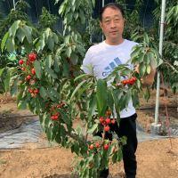 大樱桃树7月份预防病虫害的防治方案
