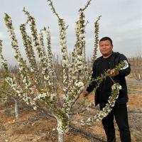#一切为了三农#美织袋矮化樱桃树,现在接受预订