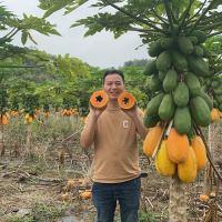都在树上熟透了。辛苦一年种的芒果好不容易等到了丰收的季节但是没人要