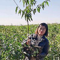 #我为家乡农产品代言#盆栽苹果,早熟品种!